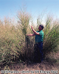 picture of man standing by switchgrass