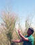 Biomass and Sustainability article link; thumb of man standing by switchgrass
