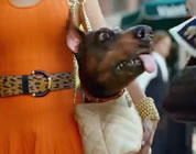 funny Superbowl commercials link; thumb of Doberhuahua in handbag